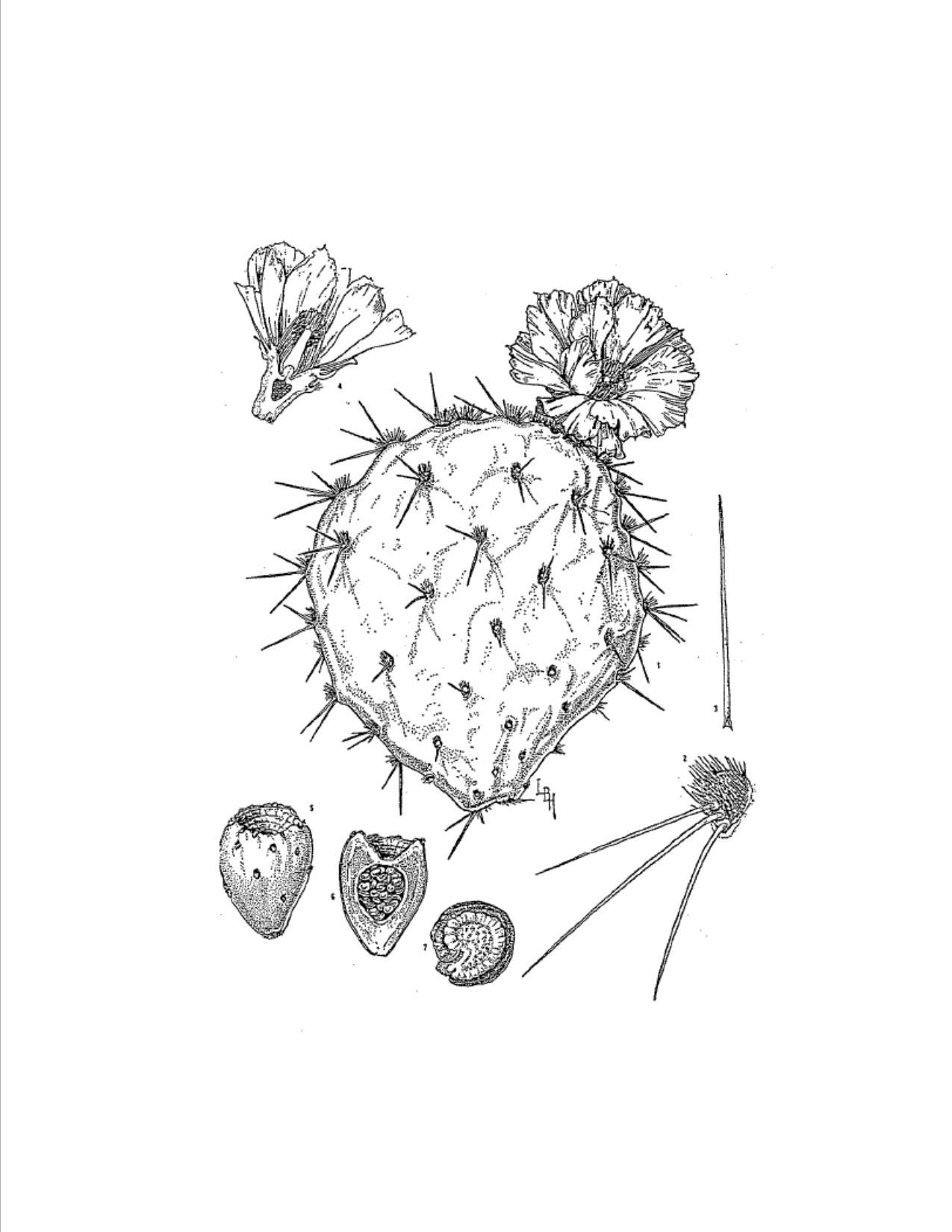 Botanical Illustration by Lucretia B Hamilton